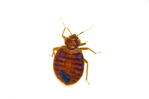 bedbug identification